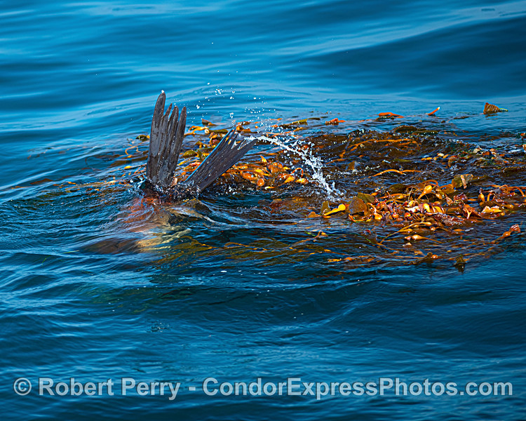 Tail flippers of a California sea lion - diving in a giant kelp (Macrocystis) paddy