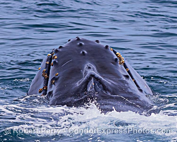 Slight chin-lift - humpback whale