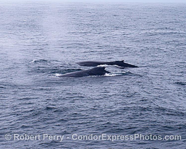 Side-by-side humpbacks
