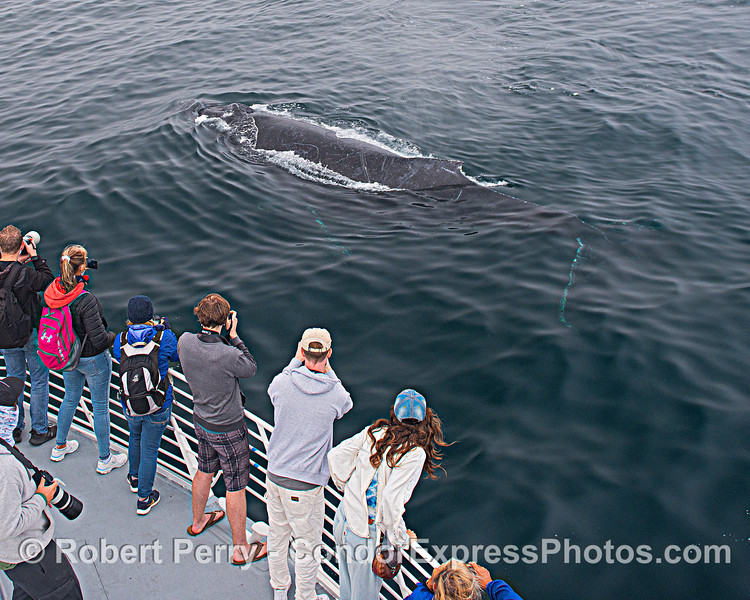 """We had 2 humpback whales """"mug"""" the boat a couple of times. Here's one of them."""