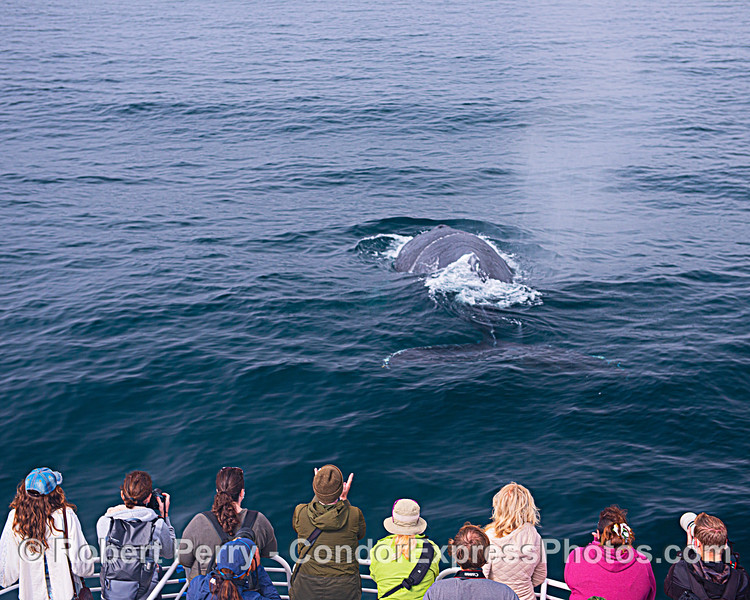 Friendly humpback surfaces directly in front of the bow