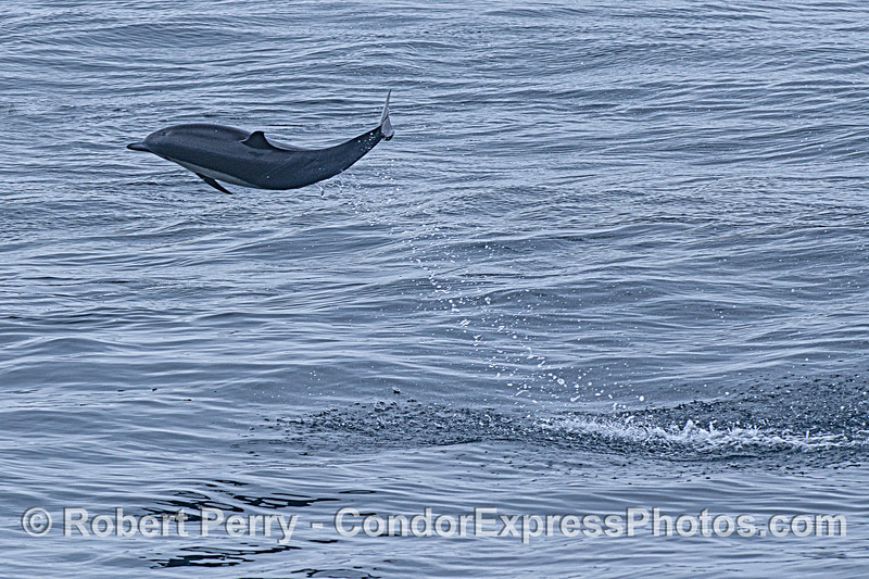 A high-flying short-beaked common dolphin.