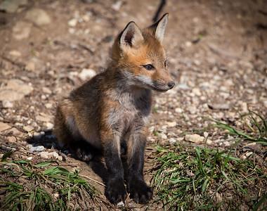 DA054,DN,Fox Pup