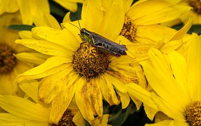 0DA047,DN,Grasshopper on Prairie Gold