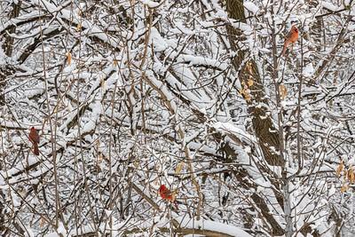 DA040,DN,Snow_Cardinals_Three_In_A_Tree