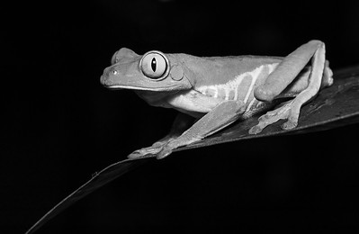 DA061,DB,Tree Frog