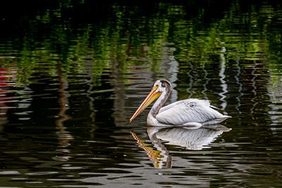 DA067,DN,Juvenile White pelican