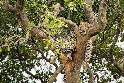 DA115,DN,Cat-in-a-Tree