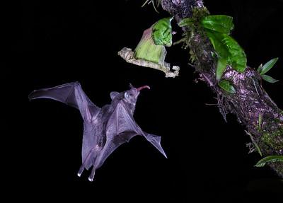 DA061,DN,Long Tongue Bat
