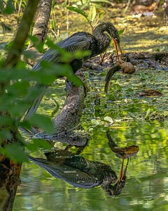 DA079,DN, Lunch in the swamp