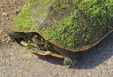 DA047,DN,TurtleInDisguise