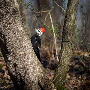 DA099,DN,Pileated Woodpecker