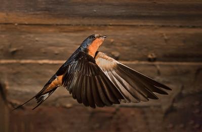 DA061,DN,Barn Swallow in a barn