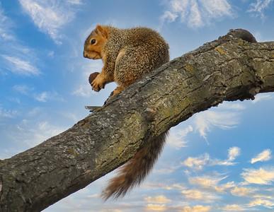 DA047,DN,SquirrelWith WalnutatSunset