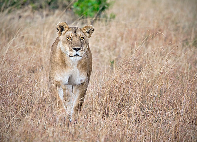 DA115,DN,Lioness in the Mara