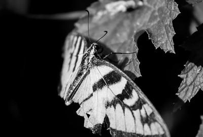 DA047,DB,Ragged Edge of a Swallowtail Butterfly