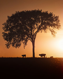 DA123,DN,Cows at sunrise