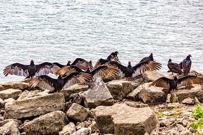 DA040,DN,Turkey_Vultures_Doing_Boogaloo_Dance_along_Mississippi_River-
