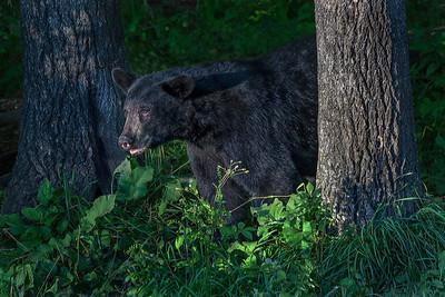 03,DA061,DN,Minnesota Black Bear
