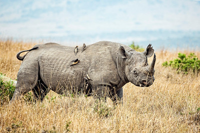 DA115,DN,Save the Rhinos-Masai Mara Africa