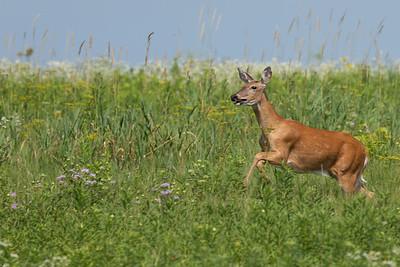 DA111,DN,Leaping Deer