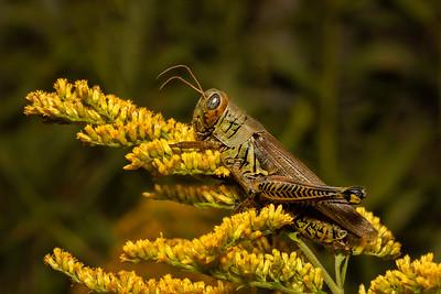 DA061,DN,Grasshopper