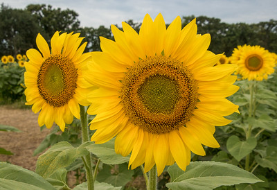 05,DA054,DP,Sunflowers