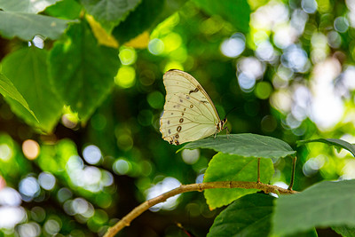 03,DA040,DP,White_Morpho_Butterfly_Boekh_Green
