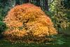 Fall Color at Portland Japanese Garden