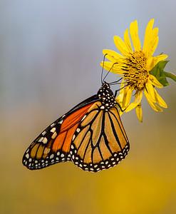 DA054,DP,Monarch in Prairie
