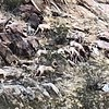 "Wild ""bighorn"" sheep, enlarged. 1"