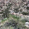 "Wild ""bighorn"" sheep.  Next two fotos are enlargements."