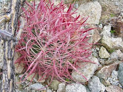 19 Long needle barrel cactus