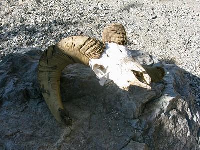 17 Bighorn Sheep