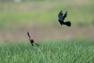 Great Tailed Grackle and Red Winged Blackbird