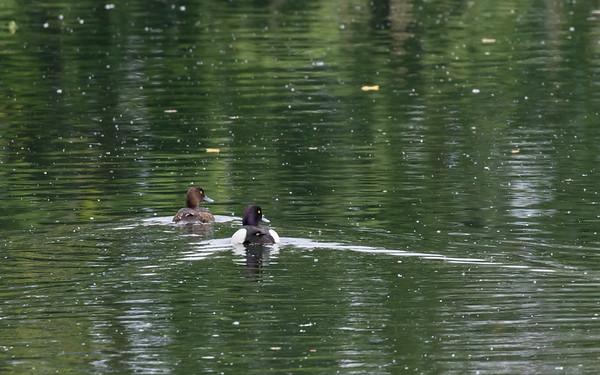 kuifeend, tufted duck