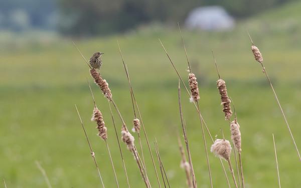graspieper, meadow pipit