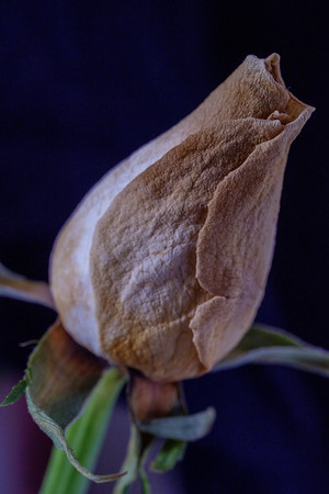 Another Faded Rose