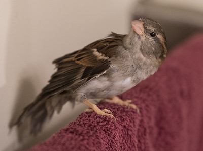 Colette, 5, a pet sparrow  owned by Karen Gall, flits around the house  in St. Albert on Sunday Mar. 1, 2020. Karen says Colette is a rescue bird from New York.(JOHN LUCAS/St Albert Gazette)