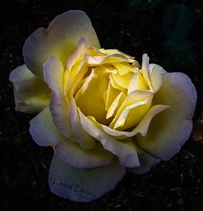 Rosa fetida