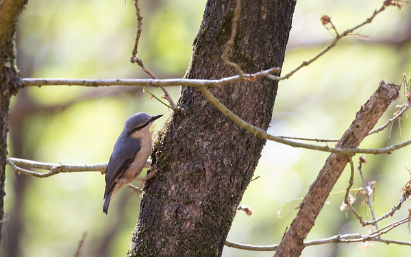 boomklever, wood nuthatch
