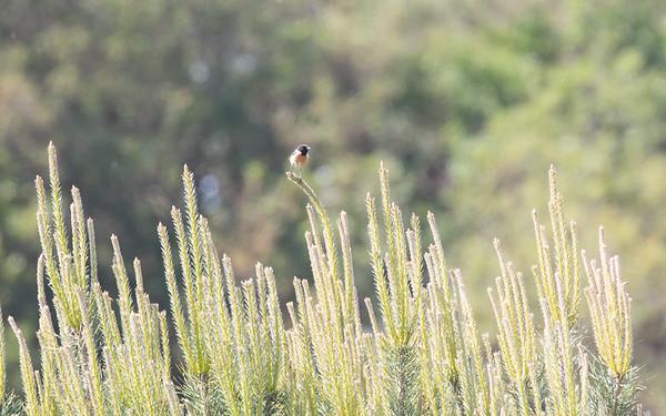 roodborsttapuit, common stonechat