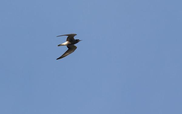 zwarte stern, black tern