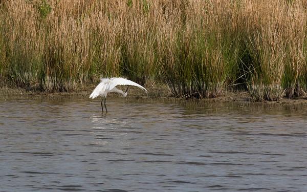 kleine zilverreiger, little egret