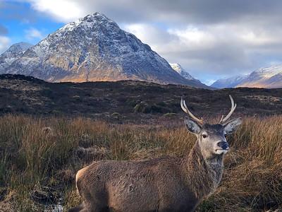 Wild stag at Glencoe