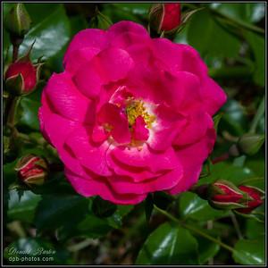 Nestled Rose