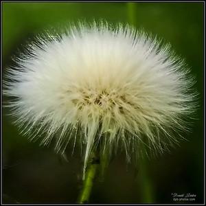 Perennial Sowthistle (Sonchus Arvensis)