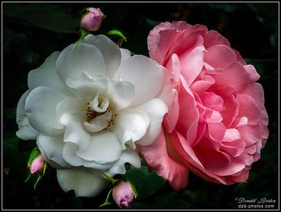 Reversed Roses