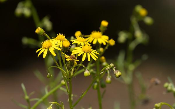 jacobskruiskruid, jacobaea vulgaris