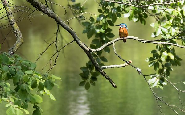 ijsvogel, common kingfisher